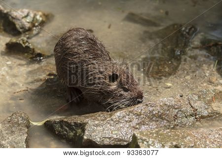 Nutria On The Shore