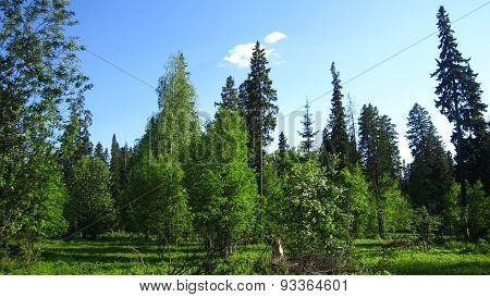 Forest Bosk