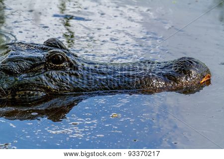 Wild Alligator Looking for Prey