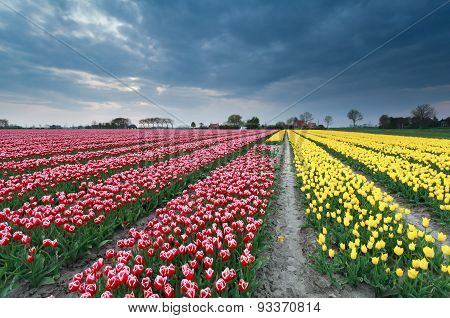 Red And Yellow Tulip Field