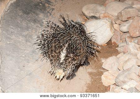 Cape Porcupine Back Side