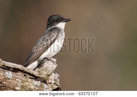 Eastern Kingbird (tyrannus)