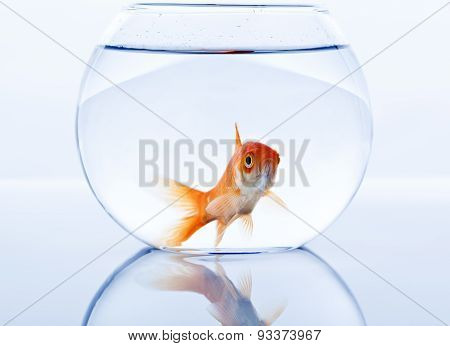 goldfish in small fishtank