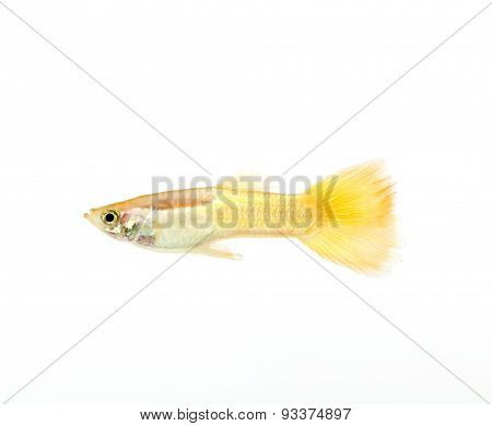 yellow guppy fish