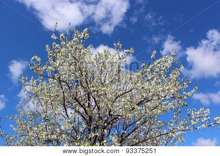 Branch Of Blossoming Tree Of Plum On Background Of The Blue Sky