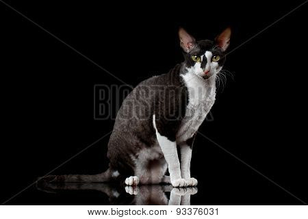 Cornish Rex Sits and Looking in Camera Isolated