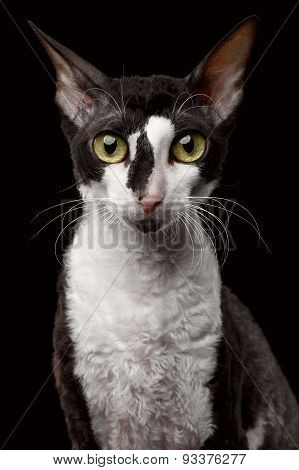 Portrait of Cornish Rex Looking in Camera Isolated on Black