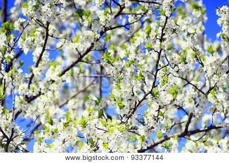 Blossoming Spring Tree On Background Of The Blue Sky