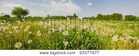 Grass And Dandelions