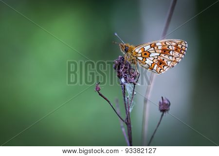 Beautiful Wild Colorful  Butterfly Resting On Plant