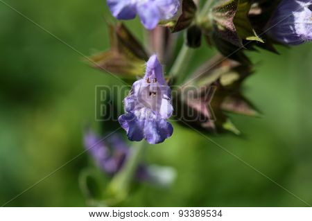 Common Sage (salvia Officinalis).