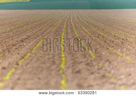 Broad Bean Field Close View