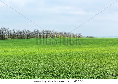 Green Field With Shoots Of Spring Wheat