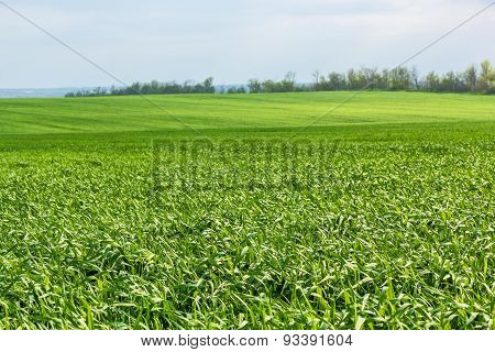 Green Field With Wheat Grass
