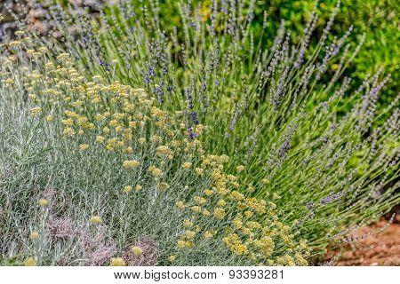 Herbs Lavander and Immortelle