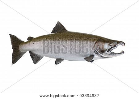 Large Salmon Isolated On White Background