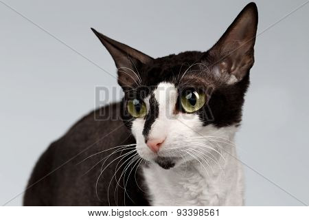 Closeup Portrait of Cornish Rex Cat  Sits on White