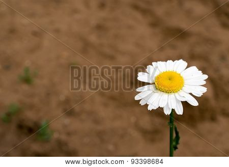 Single White Daisy