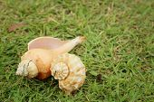 foto of conch  - conch shell on a background of green grass - JPG