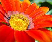 Vivid Red Gazinia Flower
