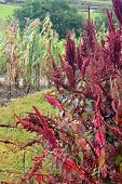 picture of corn stalk  - Red amaranth ready for harvest with withered corn stalks and ancient Inca stone ruins in the background in Cuenca Ecuador - JPG