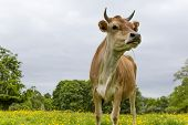 stock photo of buttercup  - Dairy cow with horns standing in a field of Buttercups - JPG