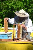 stock photo of larva  - Experienced senior apiarist cutting out piece of larva honeycomb in apiary in the springtime - JPG