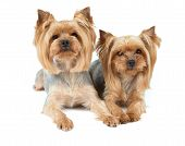 pic of yorkshire terrier  - Two Yorkshire Terriers after wash and haircut services - JPG