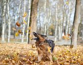 pic of shepherds  - German shepherd dog playing with the yellow maple leaves as an autumn background composition - JPG