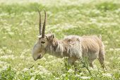pic of steppes  - adult male saiga stands in the steppe - JPG