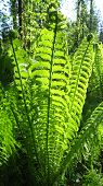 stock photo of fern  - Green fern young frond  - JPG