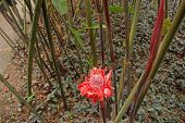 stock photo of torches  - Red Torch ginger flower in the garden in Martinique - JPG