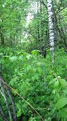 picture of birching  - Thicket of mixed maple - JPG