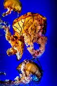 image of nettle  - A Crowd of the Large Dangerous, but Beautiful, Orange Pacific Sea Nettle Jellyfish ** Note: Visible grain at 100%, best at smaller sizes - JPG