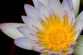 picture of stamen  - A Closeup of a Tropical White Water Lily Flower  - JPG
