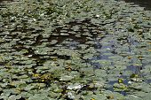 picture of water lily  - Yellow Water-lilies (Nuphar lutea) in a river. ** Note: Shallow depth of field - JPG