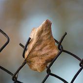 stock photo of linden-tree  - Fallen yellow autumn linden limetree leaf caught on rusty wire mesh fence large detailed macro closeup solitude concept metaphor gentle bokeh - JPG