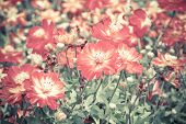 image of cosmos  - Blur short of cosmos flowers, Blooming orange cosmos flowers  ** Note: Soft Focus, best at smaller sizes - JPG