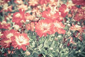 stock photo of cosmos flowers  - Blur short of cosmos flowers, Blooming orange cosmos flowers  ** Note: Soft Focus, best at smaller sizes - JPG
