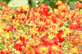 pic of cosmos flowers  - Blur short of cosmos flowers, Blooming orange cosmos flowers ** Note: Soft Focus, best at smaller sizes - JPG