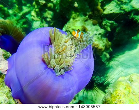 The colorful coral reef with sea urchin in tropical sea underwater.