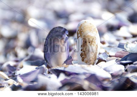 Purple and white seashells sitting up right on a bed of broken seashells on the edge of the sea.
