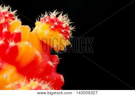 Cactus Scarlet In The Macro,with A Black Background.(selective Soft Focus)