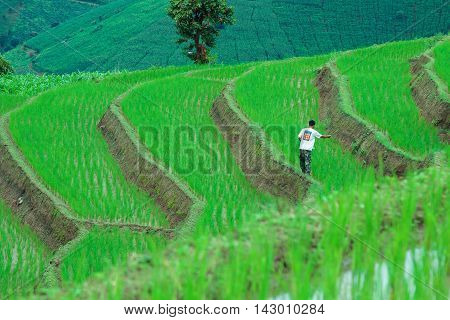 Chiang mai, Thailand - August 12, 2016 : An unidentified thai farmer sowing fertilizer on his rice field.