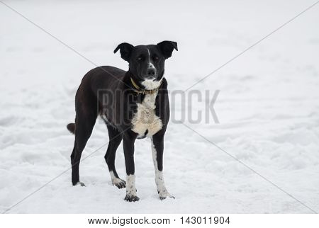 Mixed-breed black dog on a white snow