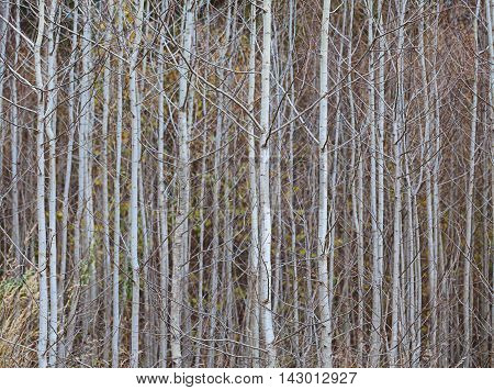 Trunks of young aspens - close up