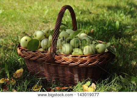 big basket with ripe apples in a garden