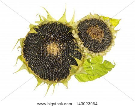 mature flowers with black sunflower seeds isolated on white background