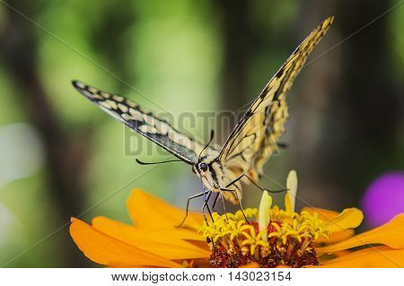 Swallowtail Butterfly Papilio machaon on flower