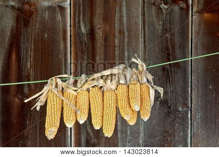 Corn on the cob drying on a string in weathered barn loft.
